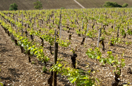 © BIVB / JOLY M. Limestone soil in the Chablis wine region