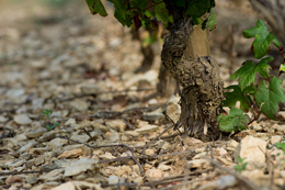 © BIVB / NARBEBURU S Ground and vinestock in Burgundy vineyards.