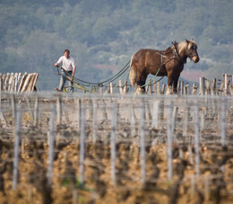 © BIVB / UPEC Ploughed in horse