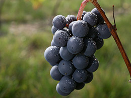 Gamay grape