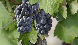Pinot Noir grapes in Bourgogne