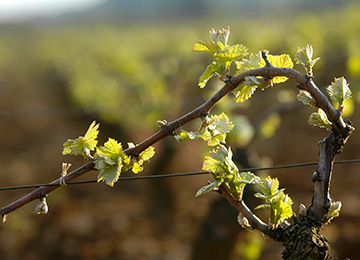 Annual cycle of thje vines in Bourgogne © BIVB / JOLY M.
