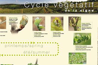 Poster -  The growth cycle of the vines