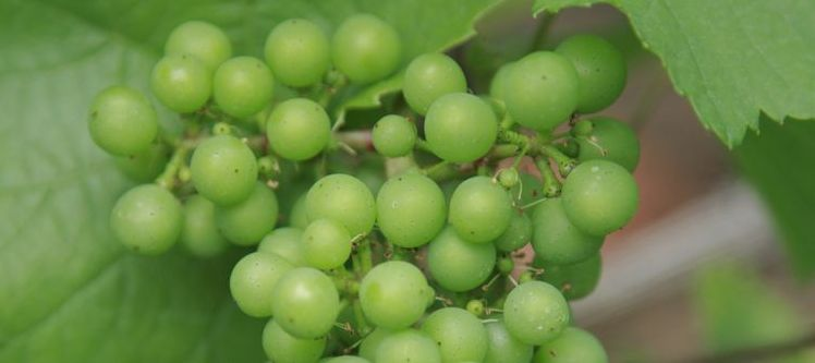 Young grape of Chardonnay