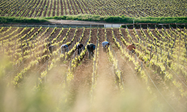 Fighting to protect the vineyards in Burgundy - © BIVB / Michel Joly