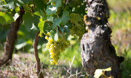 A day dedicated to the Chardonnay grape, the flagship varietal of the white wines of the Bourgogne region ©BIVB/ARMELLEPHOTOGRAPHE.COM