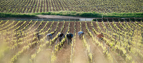 Fighting Flavescence Dorée together, vine by vine, in the Bourgogne wine region ©BIVB/A. IBANEZ