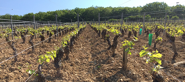 Although many vines were damaged by the frosts, others fortunately were mostly spared  ©BIVB