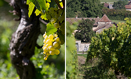 Bourgogne, the Chardonnay grappe craddle place © BIVB / www.armellephotographe.com