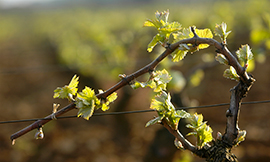 The frost didn't stop most of Bourgogne vineyards from their early© BIVB / Michel JOLY